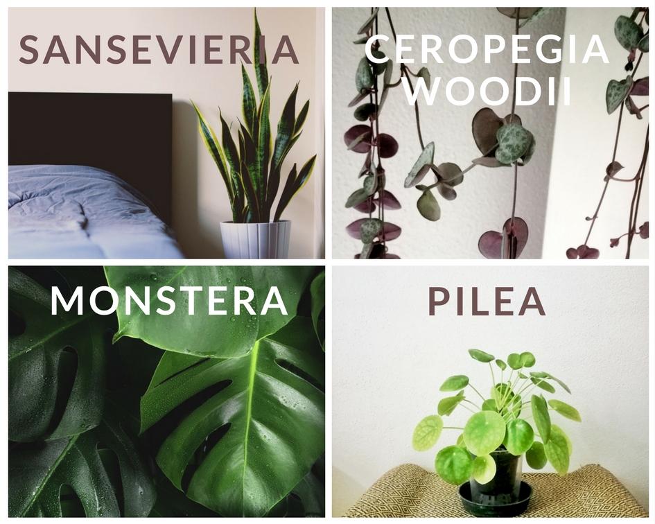 1 Sansevieria : pianta super resistente, ha bisogno di poche attenzioni. Detta anche lingua di suocera o