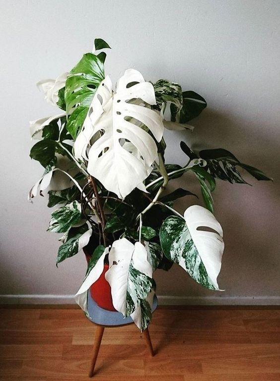via Pinterest: MONSTERA
