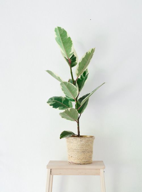 via Pinterest: FICUS